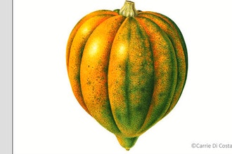 Acorn Squash in Dry Brush Watercolor - Online