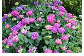 Hydrangea Pruning: What Stays, What Goes, and When