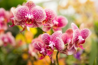 Phalaenopsis Care - Online