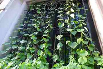 Vertical Gardening: Vines and Climbers - Online