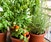 All About Containers: Veggies and Herbs for Containers