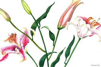 Botanical Watercolor: Daylilies