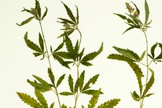 Medical Cannabis - Online