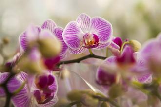 Phalaenopsis Care