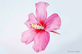 Rose of Sharon Watercolor Workshop