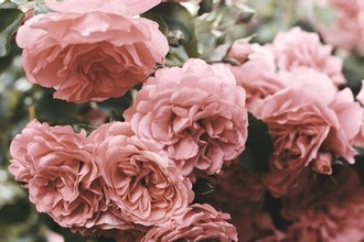 A Rose is a Rose: Creating Rose Based Natural Perfume