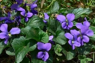 Not So Shrinking Violet Natural Perfume