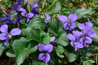 Creating Violet Natural Perfume