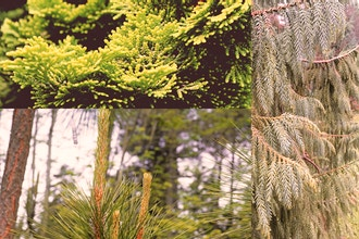 All About Conifers