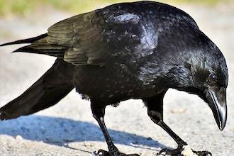 Crows: The Avian Einsteins