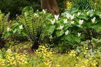 Spring Ephemerals at the Miller Garden