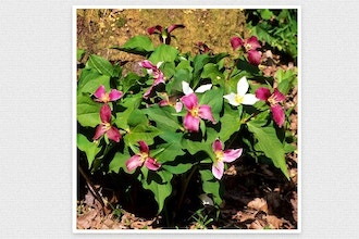 Native Plants 101: Gardening w/ Native Ephemerals