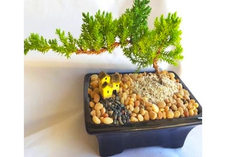 Plant Nite: Juniper Bonsai Tree for Beginners Ages 13+