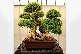 Intro to the Art of Bonsai