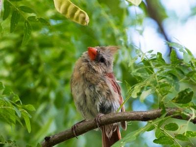 2019-08-26 13_14_00-The Birds of Brooklyn Bridge Park — Northern Cardinal (juvenile female) Brooklyn.png