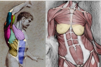 Figure Anatomy: The Muscular System