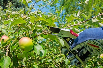 WCH: Fruit Tree Pruning