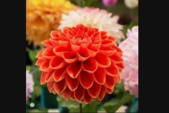 Design and Grow: Dahlia Intensive