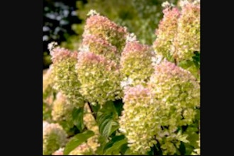 A Close Look at Hydrangeas: Online