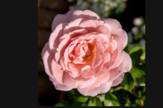 Natural History of Roses: Online