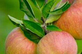 Heirloom Apple Tasting
