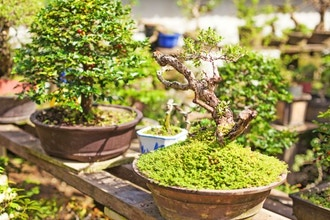 Bonsai Beginner