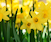 A Host of Golden Daffodils and More