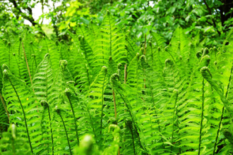 Ferns for the Chicago Region