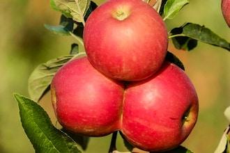 Fruit Trees for the Beginner