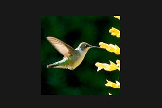 Gardening for Hummingbirds