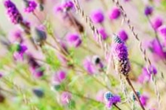 Prairie Flowers for the Home Garden