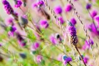 Prairie Flowers for the Home Garden