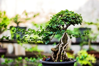 Bonsai Refinement and Show Display