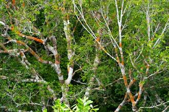 Amazon Green Medicine: Tribute to Ipupiara