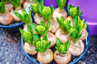 Spring Bulb Plants: Creating a Living Garden