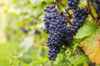 Pinot Noir Across the World