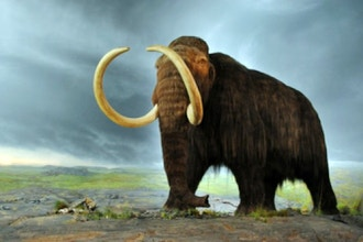 Resurrecting the Woolly Mammoth