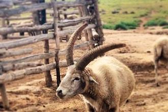 Endangered Eating: Navajo Churro Sheep