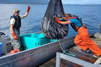 Endangered Eating: Salish Sea Reefnet Fishing
