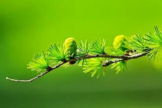 Identifying Conifers