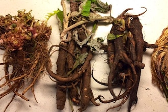 Supporting Your Health with Wild Root Medicine