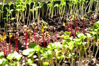 Grow and Eat Microgreens Year-Round