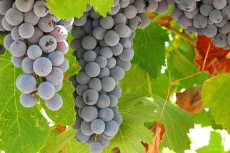 Ancient Wines: The Roots of Winemaking